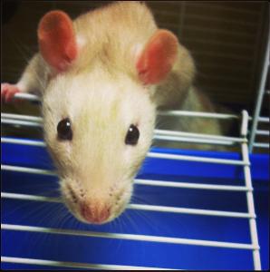 PetSmart rat