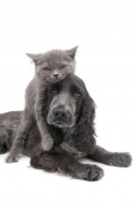 grey cat on black dog